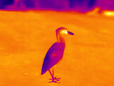 drone_thermal_bird